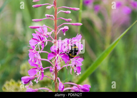 A bumble bee on the flower of a rosebay willowherb (Chamaenerion angustifolium) - Stock Photo