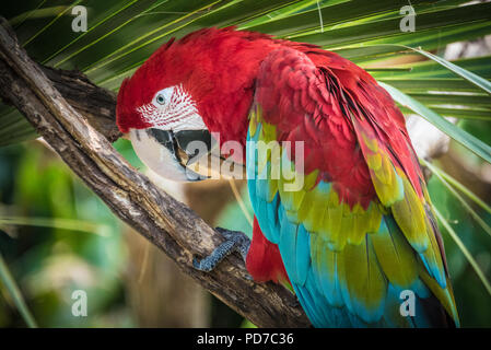 A colorful red-and-green macaw (also known as a green-winged macaw) at the St. Augustine Alligator Farm Zoological Park in St. Augustine, FL. (USA) - Stock Photo