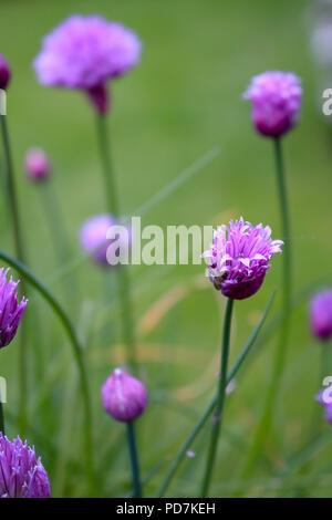 growing flowering chives in garden - Stock Photo