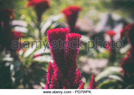 Celosia. . Celosia argentea. Floral background. Purple flower. - Stock Photo