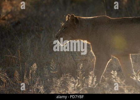 Lioness (Panthera leo) walks against light in Manyeleti Private Game Reserve, part of Greater Kruger National Park in South Africa - Stock Photo
