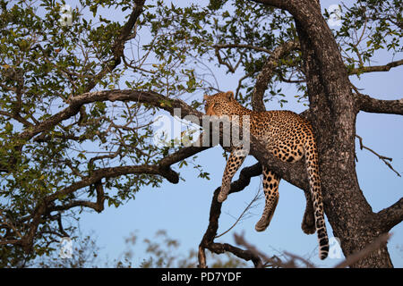 Leopard Panthera pardus sitting on a tree branch in the fading evening light at Manyeleti Game Reserve in Greater Kruger National Park, South Africa - Stock Photo