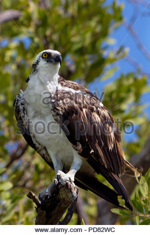 osprey - Pandion haliaetus - also known as sea hawk, river hawk and fish hawk - Stock Photo