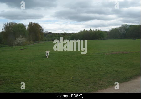 Dog running in green countryside - Stock Photo