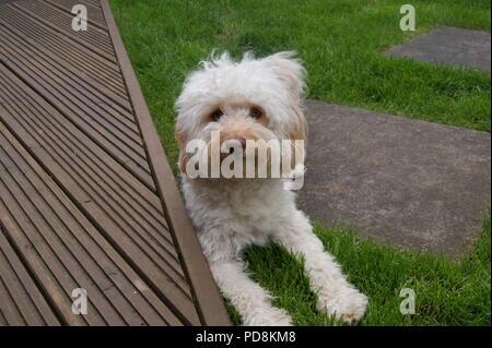 Cockerpoo dog in garden - Stock Photo