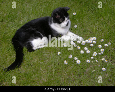 Mature British black and white male cat (Felis silvestris catus) laying on grass amidst daisies (Bellis perennis) in an English country garden - Stock Photo