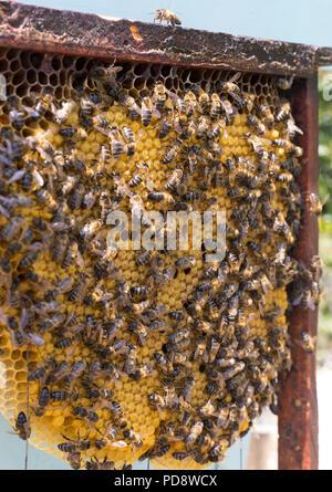 Iberian honey bees working - Stock Photo