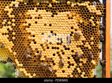 Iberian honey bees working - Stock Photo