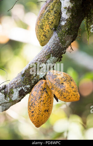 Ripe cocoa bean pods grow on a plantation in Mukono District, Uganda. Stock Photo