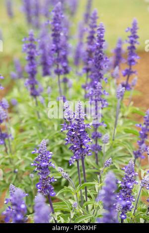 Salvia Farinacea. Victoria Mealy sage - Stock Photo
