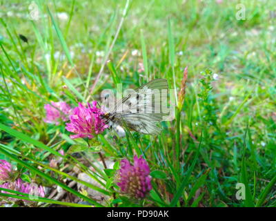 The clouded Apollo (Parnassius mnemosyne) sitting on a pink flower - Stock Photo