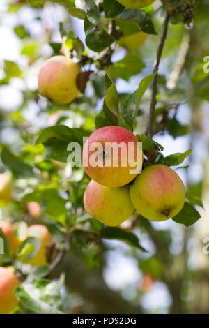 Malus 'Marshal Oyama'. Apples on a tree. - Stock Photo