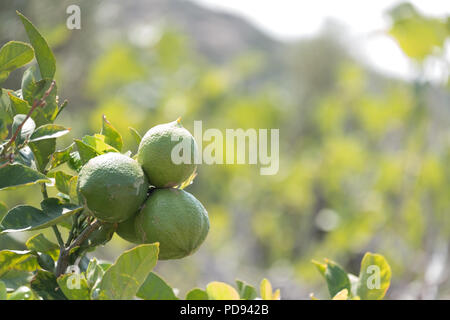 Green lemons on tree in sunshine, Citrus limon (L.) Osbeck, from the flowering plant family Rutaceae, now sold in Tesco, Saronida, Greece. - Stock Photo