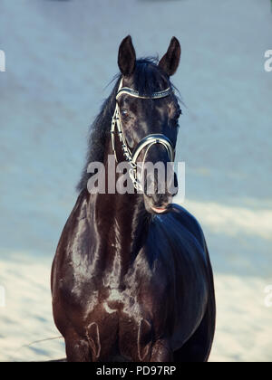 beautiful black stallion posing in the desert - Stock Photo