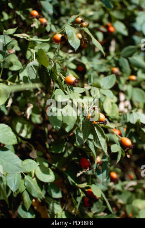 Orange rosehips growing on a bush, as they ripen they turn red & will be ready to pick after the first frost. Traditional ingredient in rose hip jelly - Stock Photo