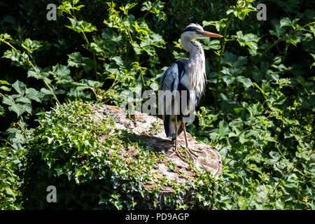 Grey Heron on a tree stump surrounded by green foliage surveying the area, Lagan towpath, Belfast. - Stock Photo