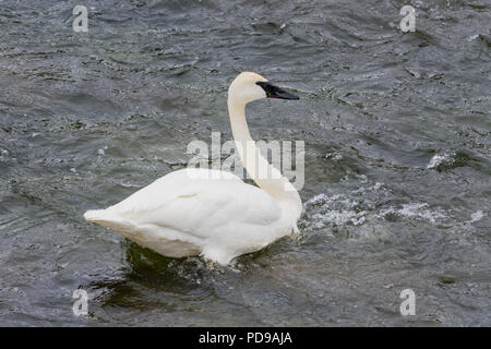 Trumpeter Swan (Cygnus buccinator) in the water of the Madison River, Yellowstone National Park, Wyoming, USA. - Stock Photo