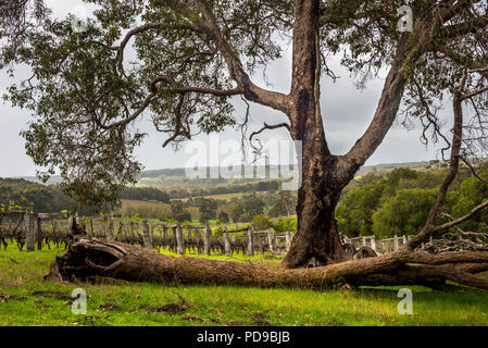 Vineyard, Margaret River, western Australia - Stock Photo