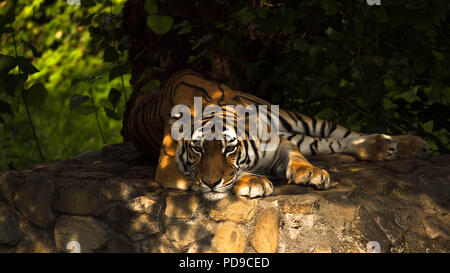 Siberian tiger lying down - Stock Photo