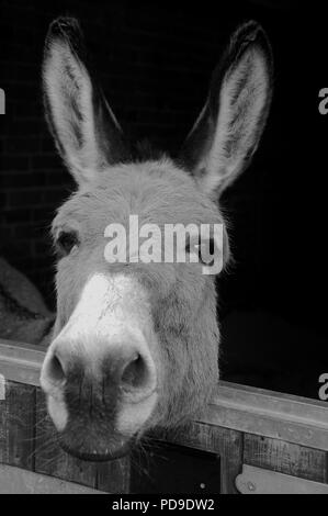 Donkey Head in stable - Stock Photo