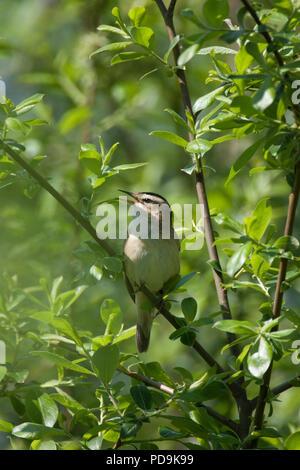 Sedge Warbler, Acrocephalus schoenobaenus, single adult singing in tree. Lea Valley, Essex, UK. - Stock Photo
