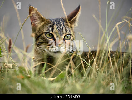 Domestic cat, kitten, 9 months, animal portrait in high grass, Germany - Stock Photo