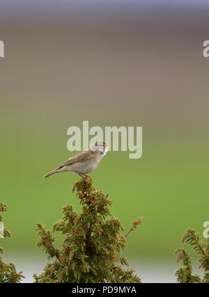 Willow Warbler, Phylloscopus trochilus, single adult singing from top of tree. Scotland, UK. - Stock Photo