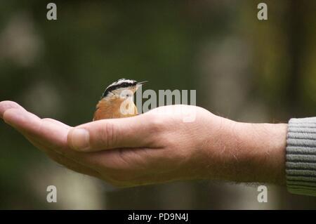 Bird sitting in palm of hand (Red-breasted nuthatch)  (Sitta canadensis) (bird sat in someones hand) (holding bird) (hand feeding birds) - Stock Photo