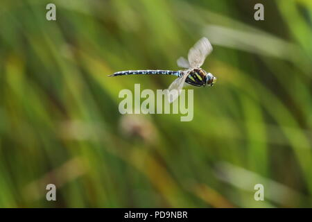 Common hawker male dragonfly,  Aeshna juncea,  flight at RSPB Saltholme. UK - Stock Photo