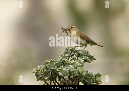 Willow Warbler, Phylloscopus trochilus, single adult perched on top of shrub with large insect in bill. Aviemore, Scotland, UK. - Stock Photo