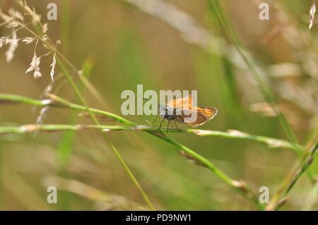 Small Skipper butterfly (Thymelicus sylvestris) perched on long grass (underwing) - Stock Photo