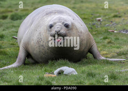 Female elephant seal in the grass on a South Georgia Island in the Antarctic - Stock Photo