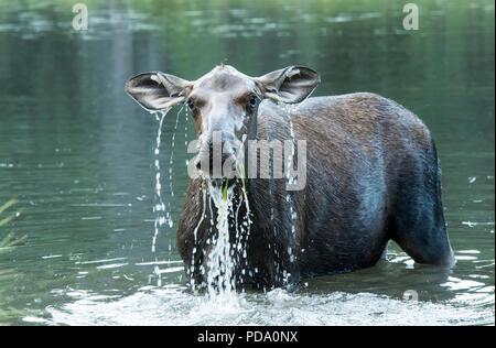 North America; United States; Alaska; Alaska Range Mountains; Wildlife; Mammals; Moose; Alces alces gigas; Cow; Summer. - Stock Photo