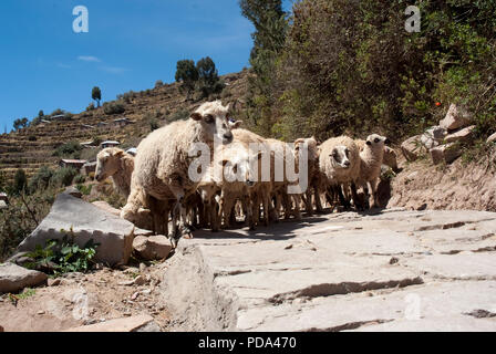 Sheep walking down a cliff at Taquile island on a sunny day. Puno, Peru. - Stock Photo