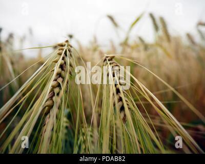 Beautiful barley and oat field - Stock Photo
