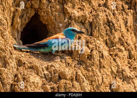 European roller or Coracias garrulus on rock - Stock Photo