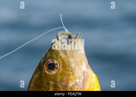 A pumpkinseed (Lepomis gibbosus) caught fishing with a fly. - Stock Photo
