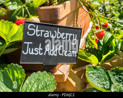 Strawberry plants on display for sale with quirky 'Strawberry Just Add Cream' blackboard sign horticultural fruit Market Stall Outdoors UK - Stock Photo