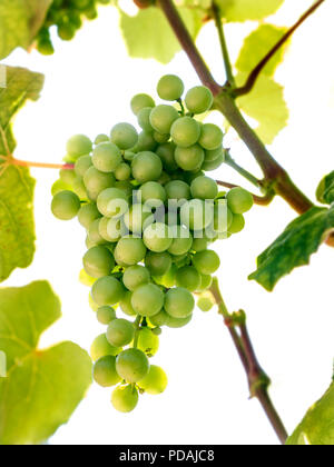 Fragola / Isabella variety grapes low angle view ripening on vine, sweet dessert strawberry like grape, produces Fragolino Italian Sparkling Wine - Stock Photo