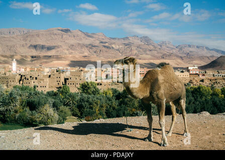 A dromedary camel resting with with the medieval village of Kasbah Ait Ben Haddou in the background. Atlas Mountains, Morocco. - Stock Photo