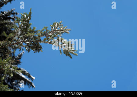 Blue winter sky without clouds and a pine fir tree with a dusting of light wintry snow on the branches of this lush evergreen woodland fauna - Stock Photo