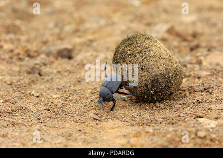 Dung Beetle, adult rolls elephant dung for egg deposition, Isimangaliso Wetland Park, Kwazulu Natal, South Africa, Africa, Scarabaeus sacer - Stock Photo