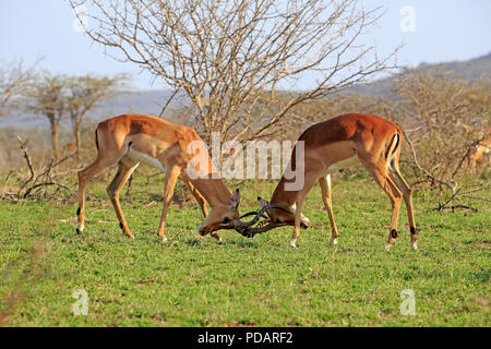 Impala, two young adult males fighting, Hluhluwe Umfolozi Nationalpark, KwaZulu Natal, South Africa, Africa, Aepyceros melampus - Stock Photo