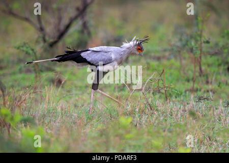 Secretary Bird, adult hunting, Hluhluwe Umfolozi Nationalpark, KwaZulu Natal, South Africa, Africa, Sagittarius serpentarius - Stock Photo