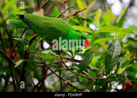Eclectus Parrots, adult male on branch, Singapore, Asia, Eclectus roratus - Stock Photo