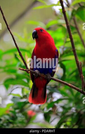 Eclectus Parrots, adult female on branch, Singapore, Asia, Eclectus roratus - Stock Photo