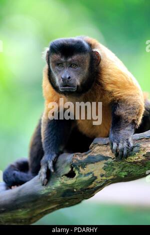 Brown Capuchin, South America, Cebus apella - Stock Photo