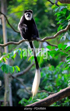 Angolan black and white Colobus, adult on tree, Africa, Colobus angolensis - Stock Photo