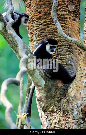 Angolan black and white Colobus, adult female with young on tree, Africa, Colobus angolensis - Stock Photo