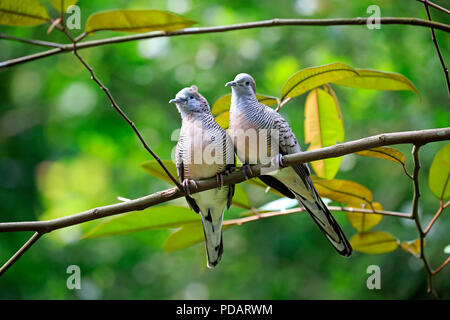 Zebra Dove, barred ground dove, adult couple on branch, social behaviour, Singapore, Singapore, Southeast Asia, Asia, Geopelia striata - Stock Photo